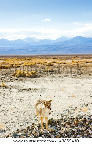 coyote, Death Valley National Park, California, USA - stock photo