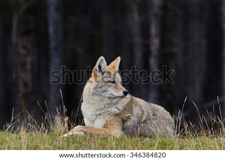 Coyote decides to rest and remains relaxed and alert in Banff, Alberta province, in Canada.  Business concept of strategic overview in anthropomorphic metaphor. - stock photo