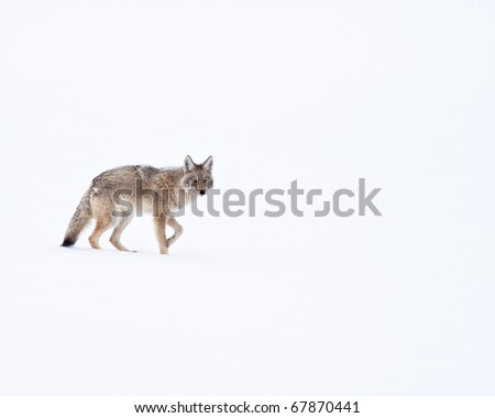 Coyote during Winter - stock photo