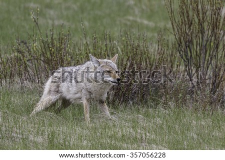 Coyote Eating Vole - stock photo