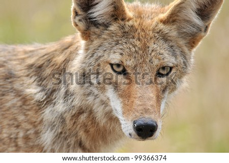Coyote Face Closeup - stock photo