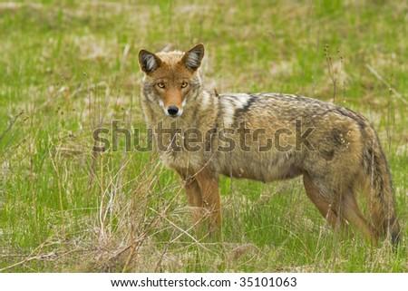 coyote, female, Canis latrans - stock photo