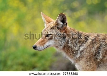 Coyote Head Profile - stock photo
