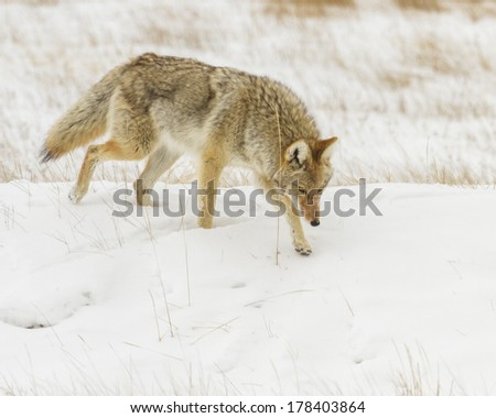 Coyote hunting for mice during winter.  Photo taken near Jackson Hole Wyoming. - stock photo