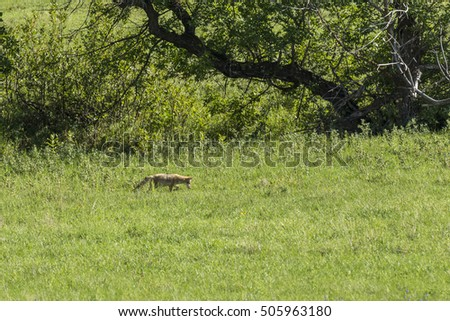 Coyote Hunting In Grassland