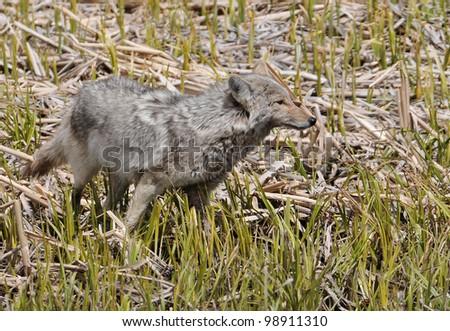 Coyote in Marsh - stock photo