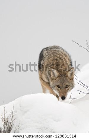 Coyote in Snow - stock photo
