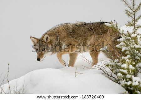 Coyote in the Snow - stock photo