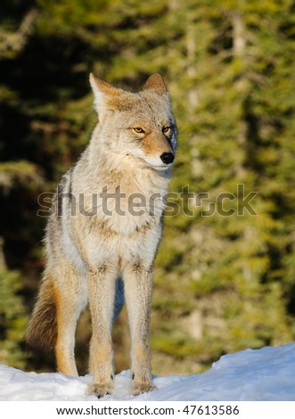 Coyote in the wild  in winter, Spray Lakes Alberta - stock photo
