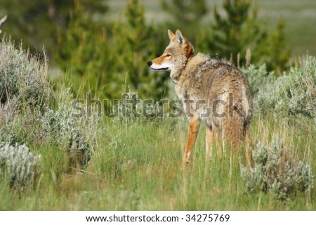 Coyote in Yellowstone - stock photo