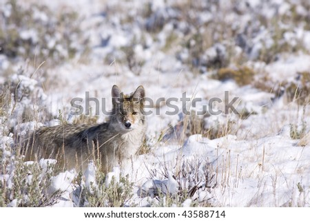 coyote looking for food - stock photo