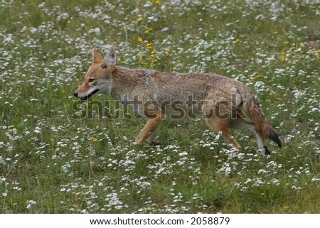 Coyote moving through a field of wildflowers in Rocky Mountain National Park