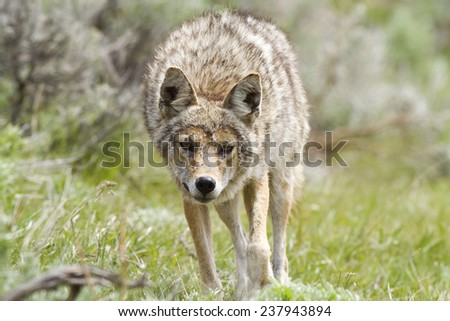 Coyote on the hunt for food - stock photo
