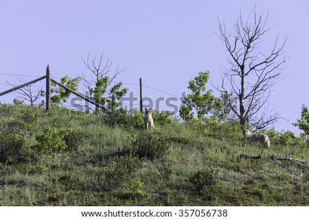 Coyote Pair on Hill in Alberta, Canada - stock photo