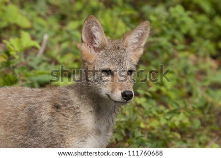 Coyote Portrait - stock photo