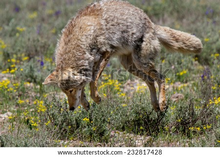 Coyote pouncing - stock photo