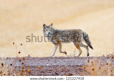 Coyote prowling  on the farm road in Bosque del Apache national wildlife refuge in New Mexico. - stock photo