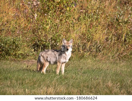 Coyote pup in Alberta - stock photo