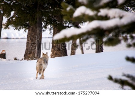 Coyote running away in Yellowstone National Park Winter - stock photo