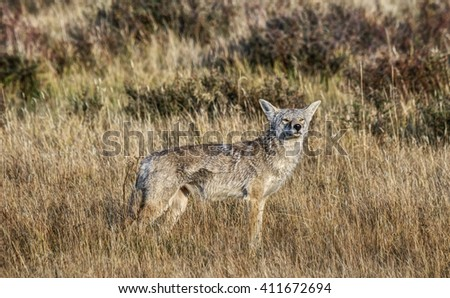 Coyote Smells something on the Wind in Yellowstone National Park - stock photo