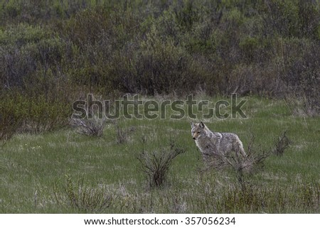 Coyote Standing in Meadow - stock photo