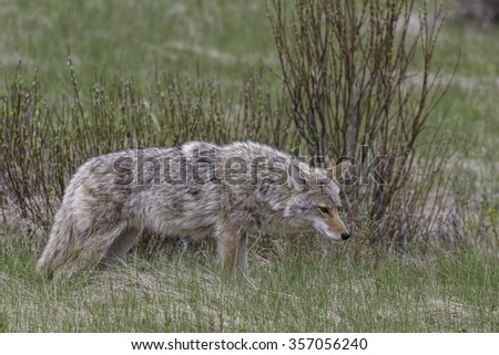 Coyote Standing in Meadow After Eating Vole - stock photo