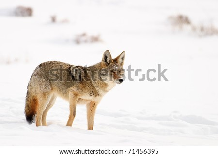 Coyote standing in snow covered meadow, Yellowstone - stock photo