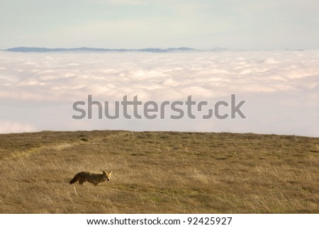 Coyote stands above the clouds