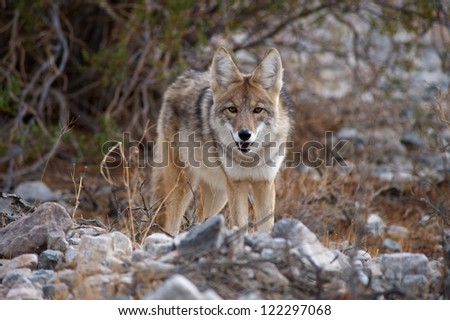coyote staring at camera in death valley - stock photo