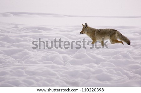 Coyote walking through a winter snowscape in Yellowstone National Park, Montana / Wyoming; wildlife viewing Lamar Valley Hayden Valley; snow - stock photo