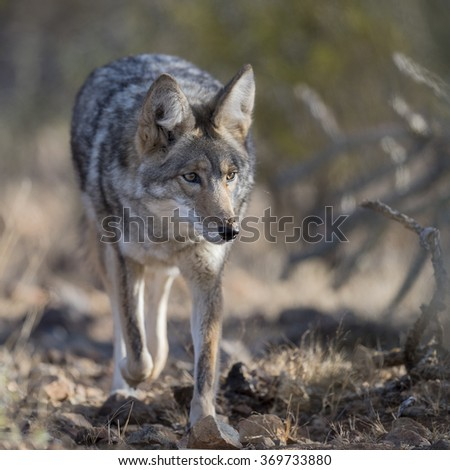 Coyote walking through desert bushes. - stock photo