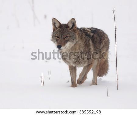 Coyote walking through snow in springtime - stock photo