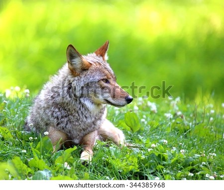 Coyotes (Canis latrans) are sometimes mistaken for wolves (Canis lupus). But coyotes' ears are closer together and stand straight up. And they don't live in social groups as do wolves. - stock photo