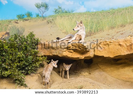 Coyotes in a Field resting in shade