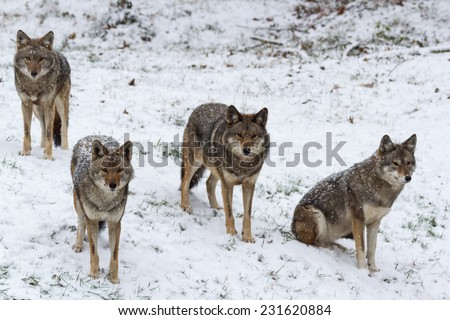 Coyotes in a winter scene - stock photo