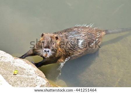 Coypu in the water