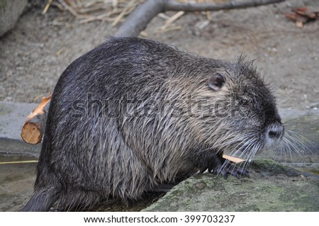Coypu (Myocastor coypus) aka river rat or nutria mammal animal