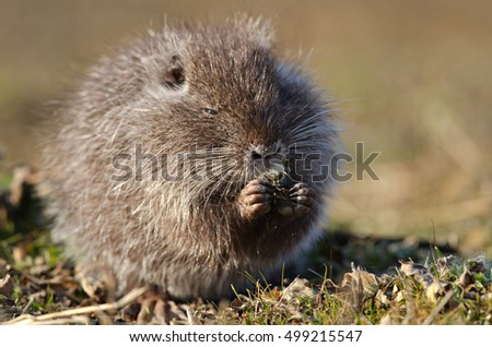 Coypu (Myocastor coypus) young eating.