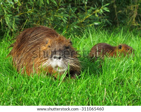 Coypu with young. - stock photo