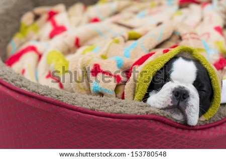 Cozy Boston Terrier Puppy - stock photo