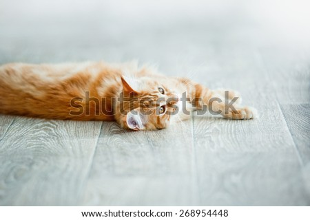 Cozy ginger maine coon kitten having rest on a floor in daylight (focus on head) - stock photo