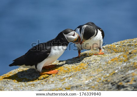 cozy puffin couple - stock photo