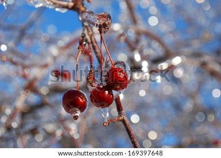 Crab apples covered with ice after freezing rain - stock photo