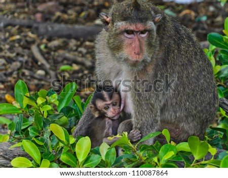 Crab-eating macaque� breastfeeding its baby