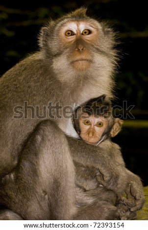 Crab eating macaque (Macaca fascicularis) mother and baby, looking into the camera. Taken in Ubud Monkey Forest, Bali.