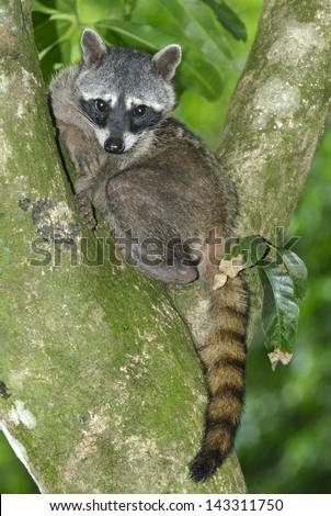 Crab-eating Raccoon (Procyon cancrivorus) in Manuel Antonio National Park, Costa Rica - stock photo