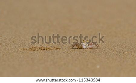 Crab next to its burrow on a beach at Kauai - stock photo