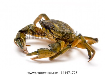Crab on white - stock photo