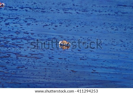 Crab reflected in water of Shela Beach in Lamu, Kenya