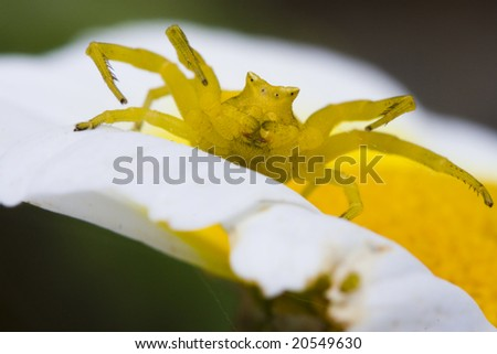 Crab Spider - stock photo